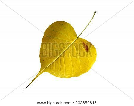 yellow bodhi leaf with drops of water isolated on white background, leaf of tree where Buddha sat attained enlightenment in the night, close up top view
