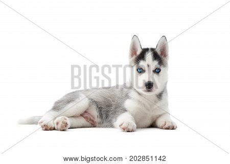 Front view of small dog of siberian husky, with blue eyes and gray fur like woolf. Little cute puppy resting on floor in studio. Dog s portrait. Concept of carried pet.