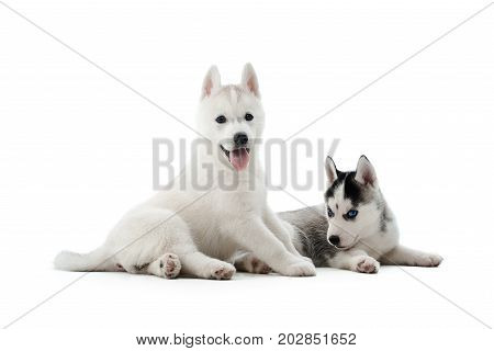 Two carried puppies of siberian husky dog playing, posing at studio on floor, lying, showing tongue, waiting for food. Cute dogs with white and gray fur, blue eyes, like woolf. Lovely pets. Isolate.