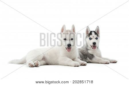 Isolated portrait of two puppies of siberian husky dog with blue eyes, lying on floor and resting after activity. Dogs with opened mouth, relaxed, looking at camera, showing tongue. Carried pets.