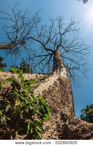 Huge beautiful stunning kapok tree at Ta Prohm, ancient khmer Buddhist temple in Siem Reap, Cambodia