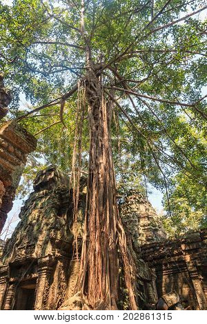 Ancient gallery of amazing Ta Prohm temple overgrown with trees. Mysterious ruins of Ta Prohm nestled among rainforest in Angkor, Siem Reap, Cambodia. Angkor is a popular tourist attraction.