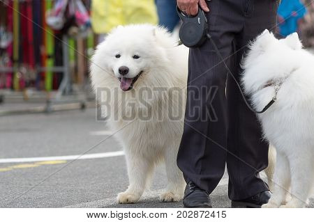 Samoyed dog - Samoyed, one of the oldest breeds of dogs. Refers to a group of Spitz.. Space under the text. 2018 year of the dog in the eastern calendar Concept: friend, protection, loyalty, vigilance, security