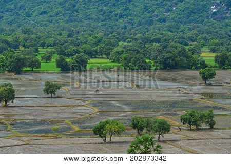 Rice Field In Mekong Delta, Southern Vietnam