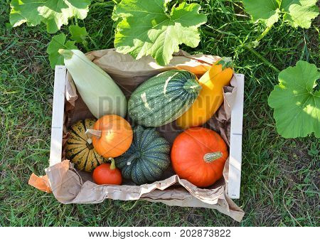 Autumn vegetables box. Pumpkins and squashes in garden