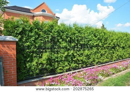 Green Fence with Trimmed Green Thuja and Welded Wire Fencing.