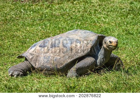 The Turtle Terrestrial grazing on green grass.
