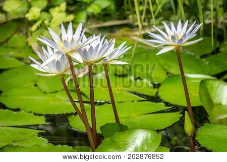 The White waterlily flowers on a lake.