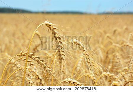 Close up on Rye grain harvest on rye field.