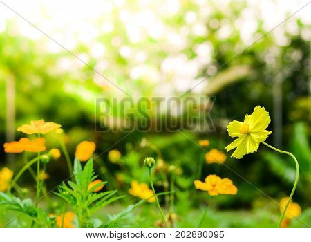 Yellow Cosmos flowers with sunlight in the morning. Cosmos is also known as Cosmos sulphureus.