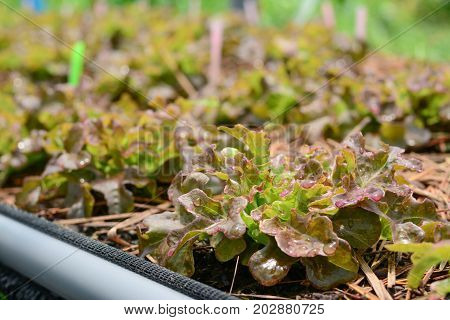 Hydroponic vegetable farm Agriculture and food concept. (Red oak Lettuce salad)