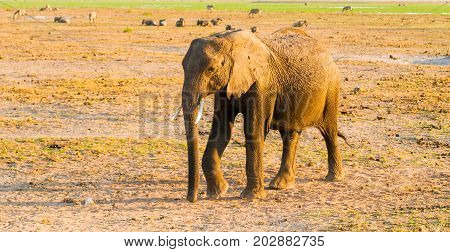 African Elephant in natural habitat, Tarangire National Park, Tanzania, Africa