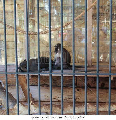Yalta, Crimea - 11 July, Vacationers in the cage of the monkey, 11 July, 2017. Zoo and animals on the territory of the hotel Yalta Intourist.