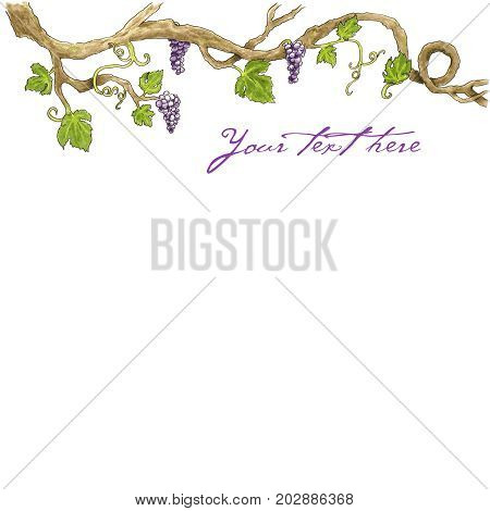 Grape branch Hand drawn illustration. White background vector