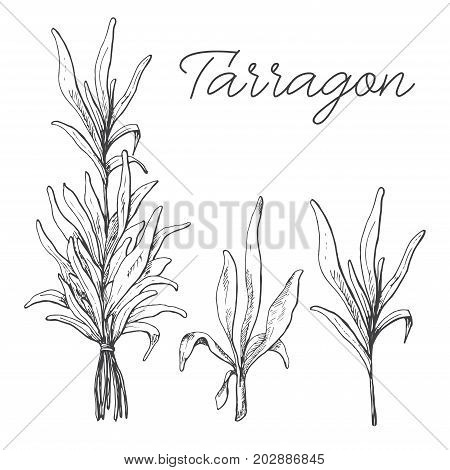 Hand drawn tarragon isolated on white background. Vector illustration of a sketch style.