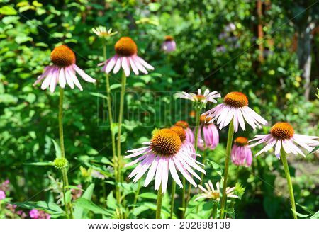 Growing and Caring for Purple Coneflowers Echinacea Flowers.