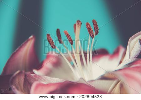 Beautiful pink-white lily close-up of a stamen