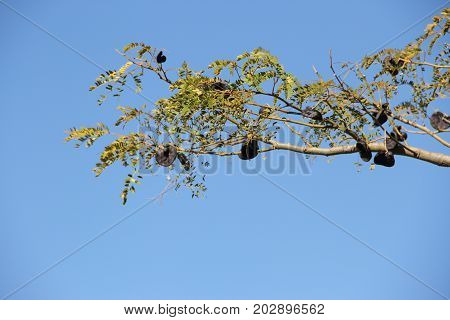 Argentinean and Uruguayan autochthonous tree commonly known as black ear
