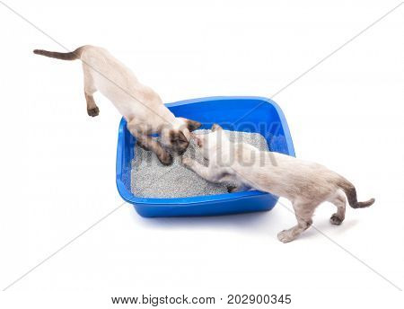 Two young Siamese cats sniffing a litter box, top view, on white