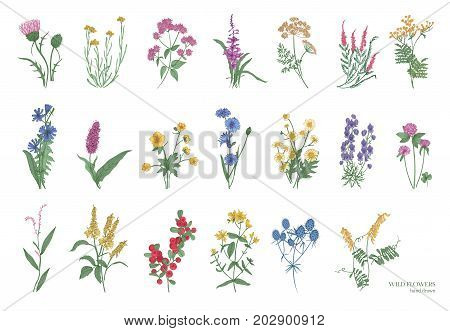 Collection of beautiful wild herbs, herbaceous flowering plants, blooming flowers, shrubs and subshrubs isolated on white background. Hand drawn detailed botanical vector illustration