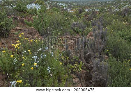 Flowers in the Atacama Desert. Spring flowers in bloom amongst the cacti after rare rain in the Atacama Desert. Parque Nacional Llanos de Challe, near Vallenar in northern Chile.