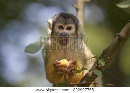 Eating squirrel monkey eating food in the sun