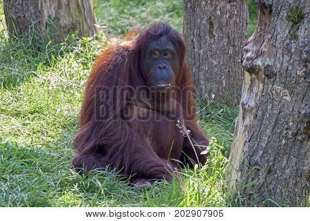Orang-utan sitting on the ground (Pongo pygmaeus)