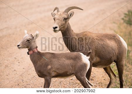 A mother mountain sheep and her calf look over a spot in the South Dakota Badlands