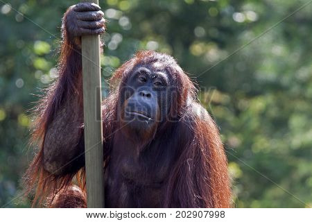 Red Orang-utan (Pongo pygmaeus) in the zoo