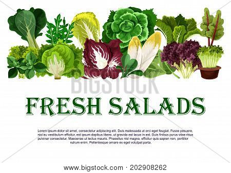 Salads and leafy vegetables poster for farm market. Vector chicory, radiccio or arugula and chinese cabbage, oakleaf lettuce or sorrel and pak choi, farm garden spinach, batavia and iceberg lettuce