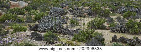 Clumps of cacti Copiapoa De Carrizal (Copiapoa dealbata) in the Atacama Desert. Parque Nacional Llanos de Challe, near Vallenar in northern Chile.