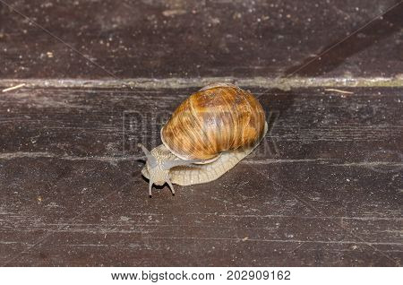 Roman snail Burgundy snail edible snail or escargot (Helix pomatia) edible air-breathing land snail a terrestrial pulmonate gastropod mollusk moving on wooden slats in a garden in Germany. Protected hermaphroditic species