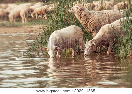 Flock Of Sheep On A Watering Hole.  Sheep Drinking Water On The Shore Of The Lake.