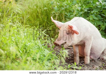 Cute piglet walking on grass in spring time. Pigs grazing at meadow under. Organic agriculture natural background