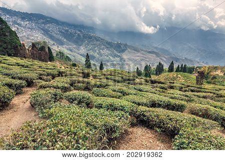 Tea plantations with fog at tea valley Darjeeling, India