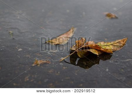 Yellow leaf lies in a puddle. Autum. Rain