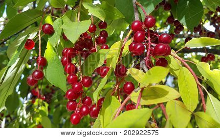 Closeup of bright berries of bird cherry