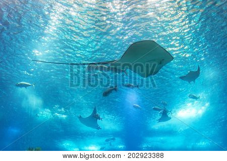 Sea stingray and marine life. A marine aquarium with fishes and corals. Marine life.