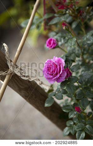 Rosebud In The Garden
