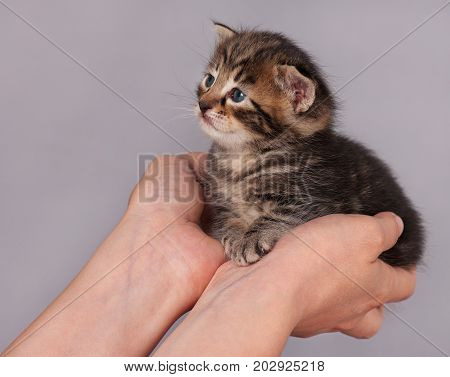 Cute little kitten on the human's hands over grey background