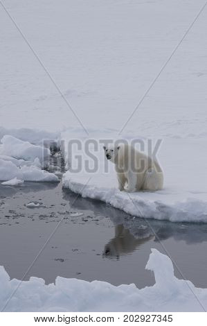 Polar bear sits on the edge of ice and looks at the reflection in water