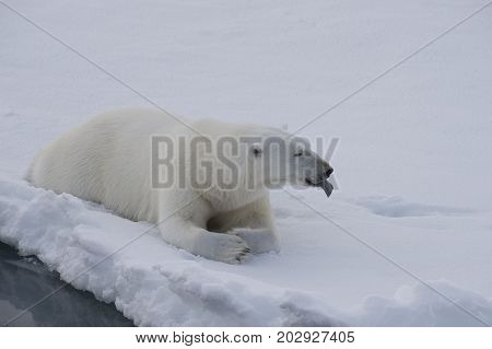 Polar bear lies on the ice in arctic landscape sniffing around.