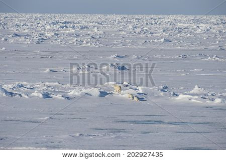 Polar bear famaly walking on the ice in arctic landscape sniffing around.