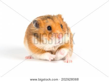 Scared Syrian hamster with a funny expression (on a white background) selective focus on the hamster nose and eyes
