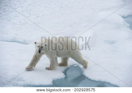 Big polar bear on drift ice edge with snow a water in Arctic North Pole