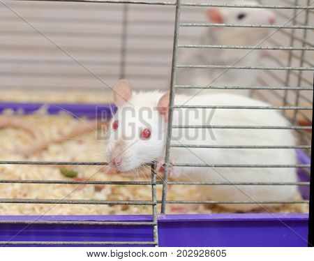 Curious white laboratory rat looking out of a cage