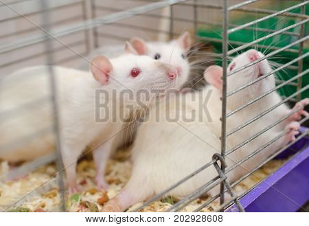 Three laboratory rats in a cage selective focus on one of the rats