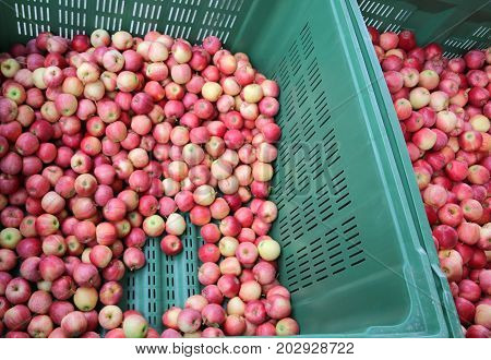 Many Ripe Apples Inside The Container For Sale