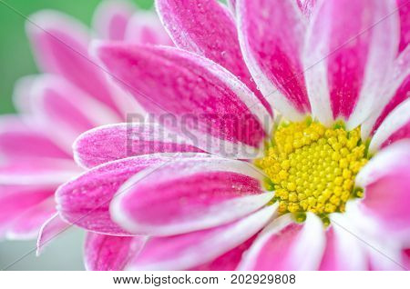 Macro shot of petals of beautiful chrysanthemum flowers covered with morning dew (very shallow DOF selective focus)