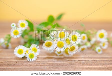 Beautiful wild chamomile flowers against the wooden background (shallow DOF selective focus)